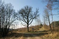 Eiche am Wegedreick zwischen Grund und Ruckersfeld