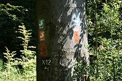 Markierungen Bergischer Weg, Natursteig Sieg, Erlebnisweg Sieg und Hauptwanderweg X22 an einer Buche