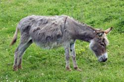 Briloner Esel bei der Hebammen-Hütte