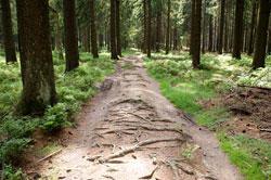Reste des Gebücks der alten Landhecke zwischen Dreiherrnstein und Riemen