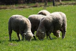 Schafe bei Tannenbaum