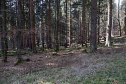 Ringelsteiner Wald an der Sauerland-Waldroute