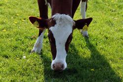 Kuh an der Milchtankstelle
