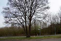 Grenzbaum auf der Landesgrenze zwischen Hessen und Niedersachsen bei Mollenfelde