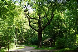 Naturdenkmal Jägereiche